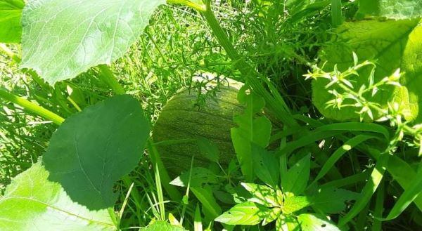 Pumpkin – The Miraculous Plant | Christy Lowman